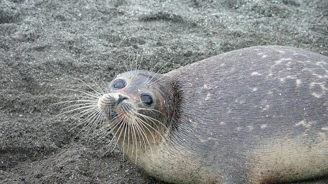 Las focas pueden dormir con la mitad de su cerebro