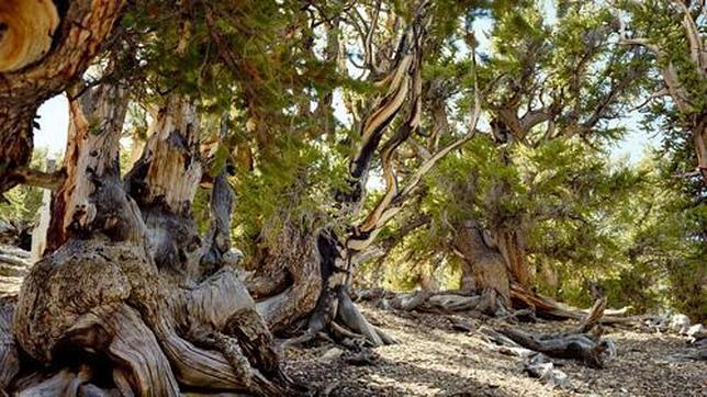 Pinos bristlecone, más de 4.500 años