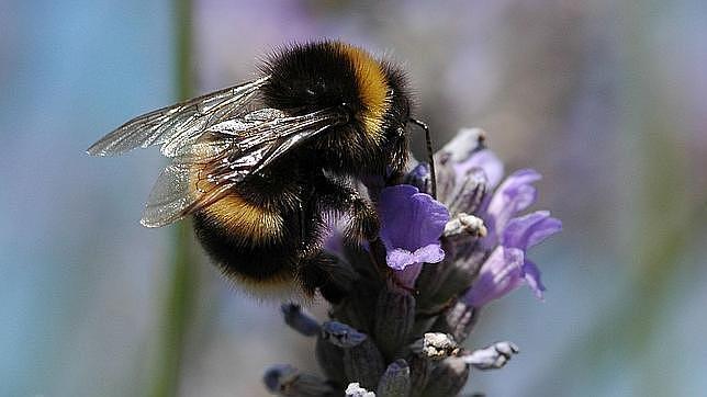 Europa prohíbe tres pesticidas que matan a las abejas