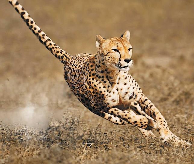 El guepardo, cuatro veces más potente que Usain Bolt