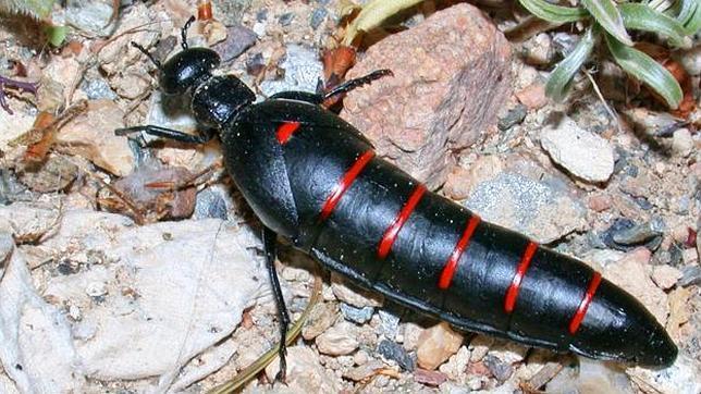El escarabajo que conquistó a los primeros pobladores ibéricos