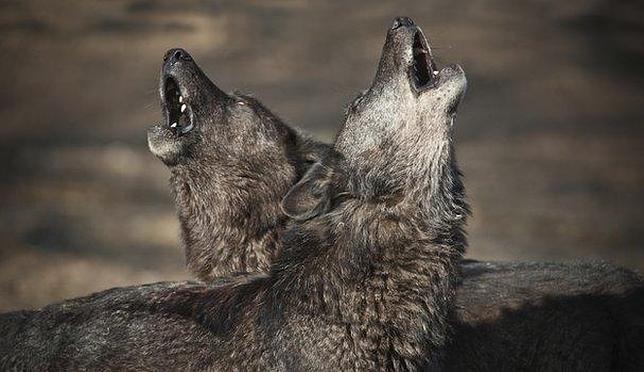 Resultado de imagen de lobos aullando en la noche