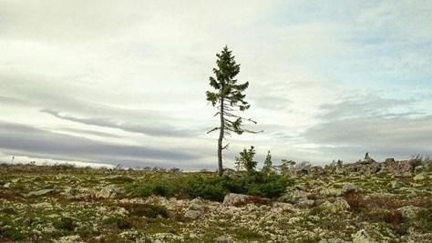 Así es el árbol vivo más viejo del mundo