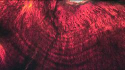 Líneas de crecimiento diario en la dentina del diente de un embrión de Hypacrosaurus