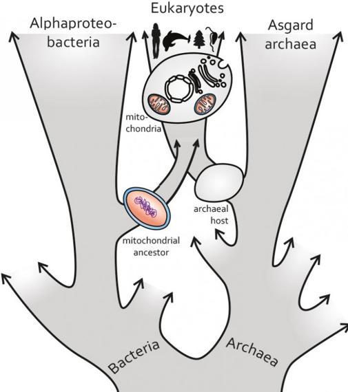 Mitocondrias y alfaproteobacterias tuvieron un ancestro muy importante en la aparición de los seres vivos complejos