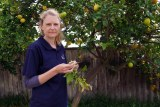 A woman stands by a fruit tree infected with gall wasp nests