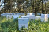 About 20 beehives grouped together in a field with woodland in the background