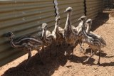 Emu chicks on farm