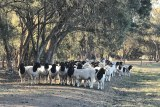 A herd of dorper rams graze under trees at Dell Dorpers Australia at Moama.