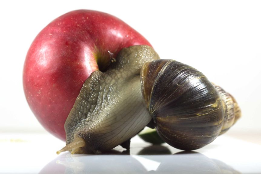giant african snails a