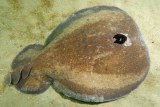 A coffin ray