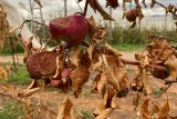 Close up of withered and burnt apples on a dead tree in Ralph Wilson's orchard in Batlow.