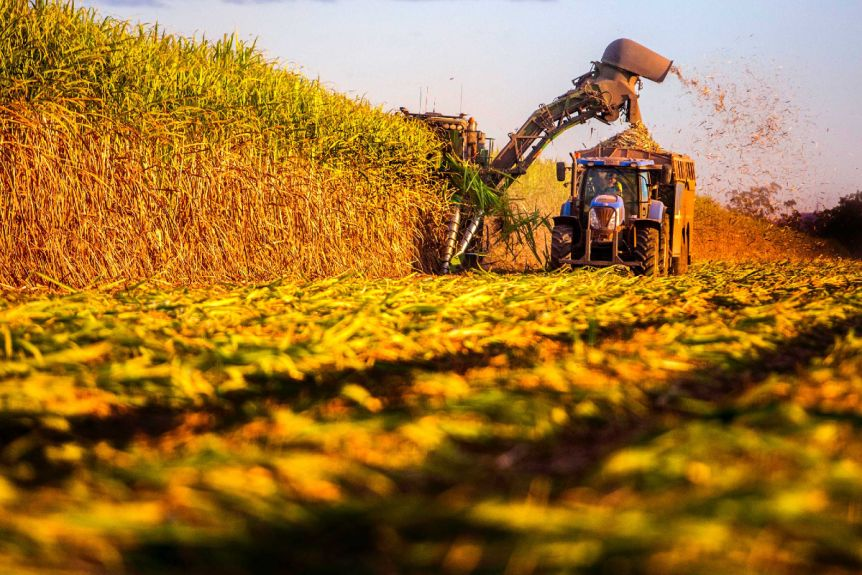 A cane harvester cutting sugar cane in the afternoon sun.