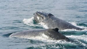 How shooting whales with air rifles helps scientists study Antarctica's changing environment