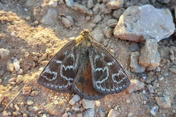 A golden-brown-coloured moth on some pebbles