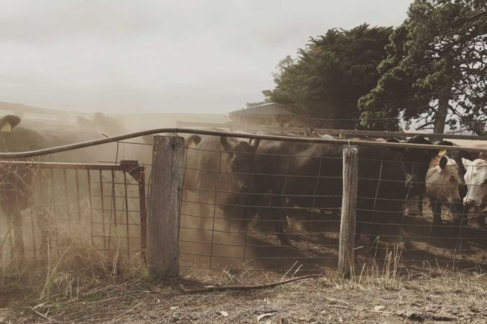 cattle stare at the camera through an old fence, surrounded by a cloud of dust