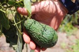 An unpicked Maluma avocado at Lakeland