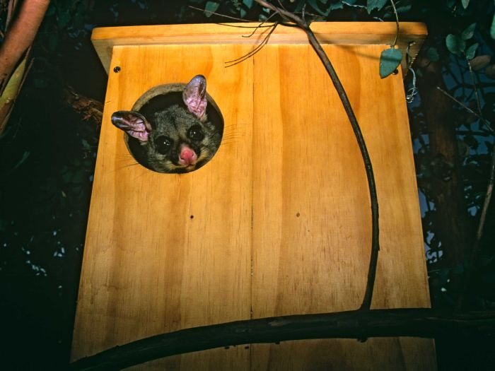 Brushtail Possum in a box