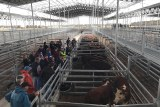 People look at cattle inside the new Mortlake saleyards in western Victoria.