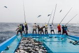 A dozen fishermen from the Maldives use poles to catch skipjack tuna and fling them onto the boat.
