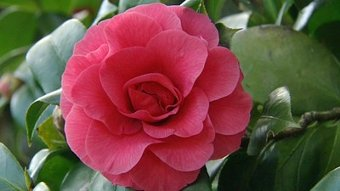 camellias in bloom fact