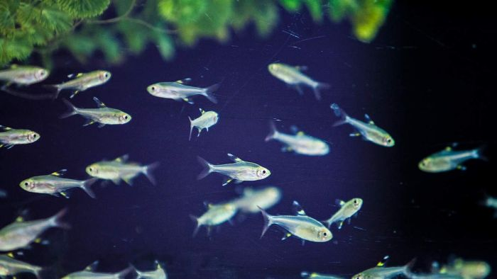 A shoal of fish in Ash Ward's lab