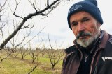 Fruit grower, Gary Godwill, in his dormant winter orchard at Kialla East in north east Victoria.
