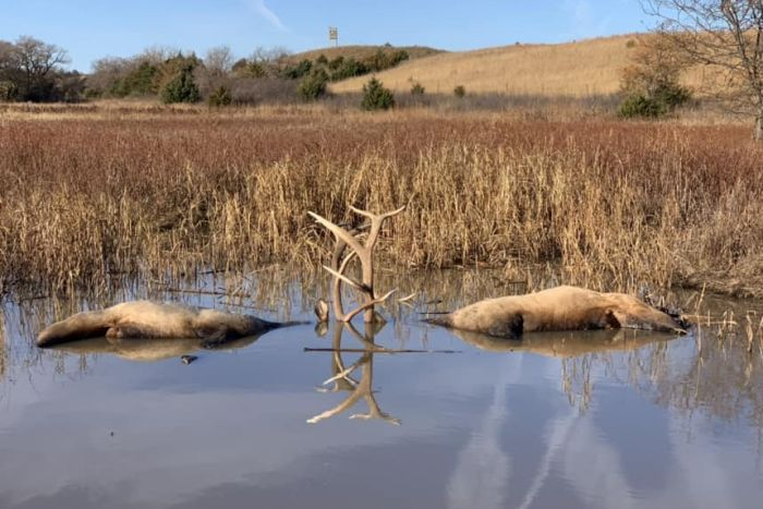 Bodies of two large elk bulls partially submerged in a pond. Their antlers protrude from the water, are locked together.