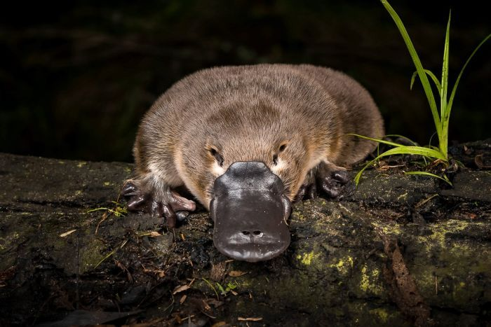 iconic platypus could face