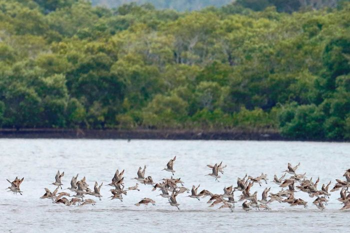 Bar-tailed godwits fly low to the water, some standing on a sand bar in the harbour.