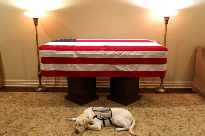 A golden labrador curled up in front of a coffin with a US flag draped over it.