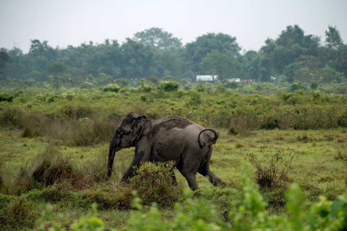 An elephant retreats after charging at farmers. The mother had been separated from her calf.