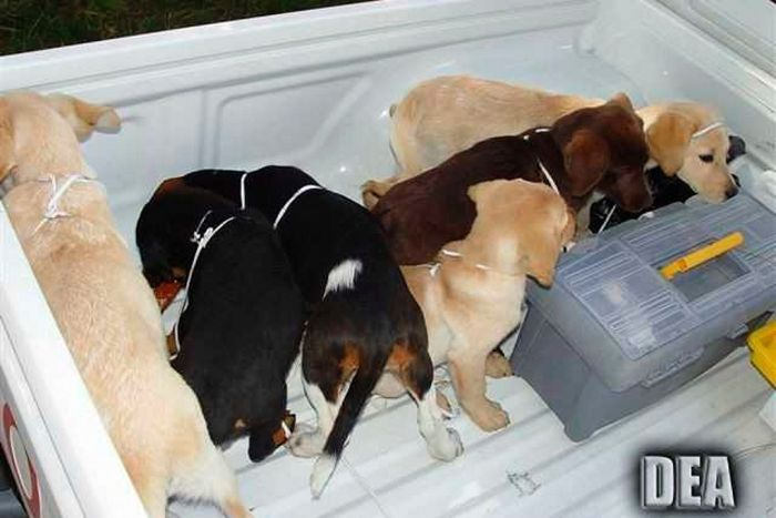 Six puppies stand in the back of a ute.