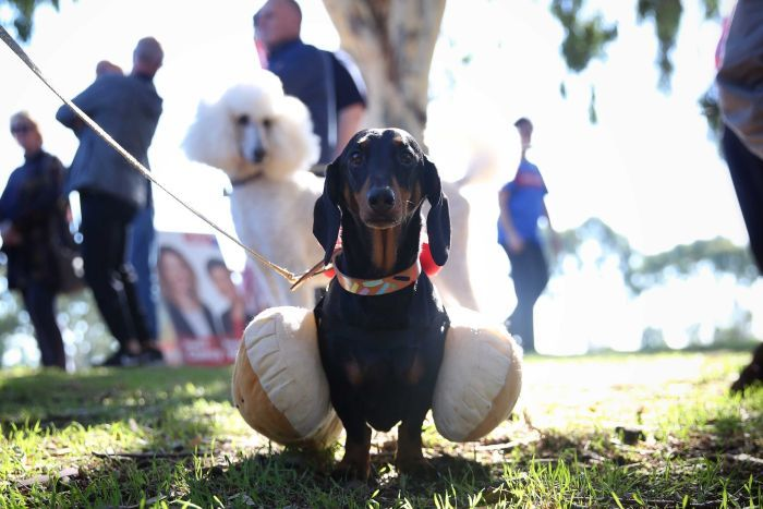 A black dachshund dressed as a democracy sausage looks at the camera as a white poodle looks on