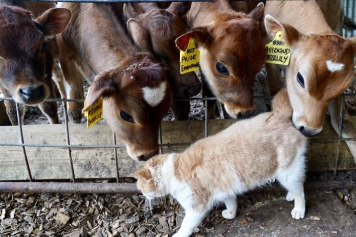 The baby's cows sniff a passing cat.