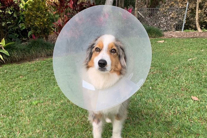 A dog wearing a plastic cone collar