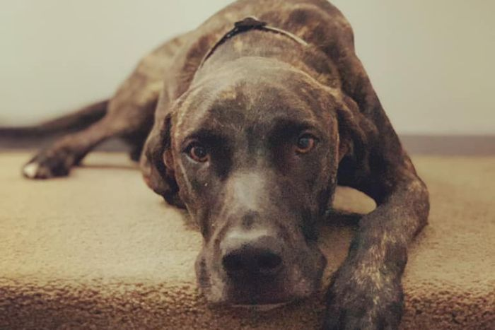 A brown dog lying on carpeted stairs