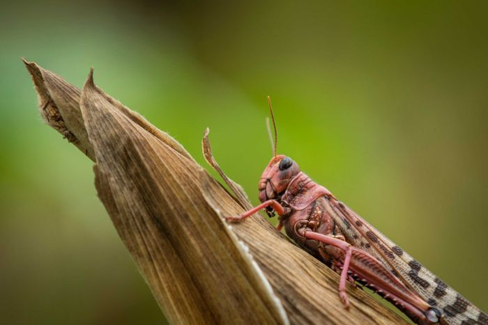 A desert locust sits on a maize plant at a farm in Katitika village, Kitui county, Kenya.