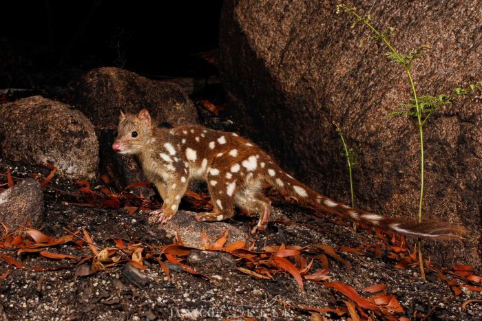 A spotted quoll in a rocky outcrop