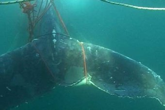 A whale trapped by fishing ropes