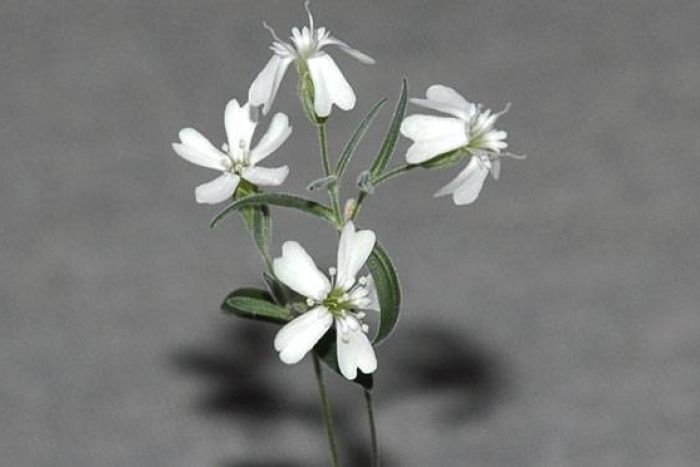A flowering Silene Stenophylla plant