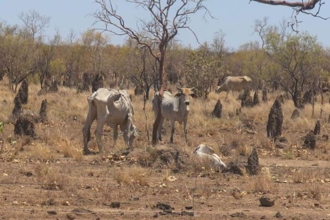 Drought-affected cattle south of Normanton