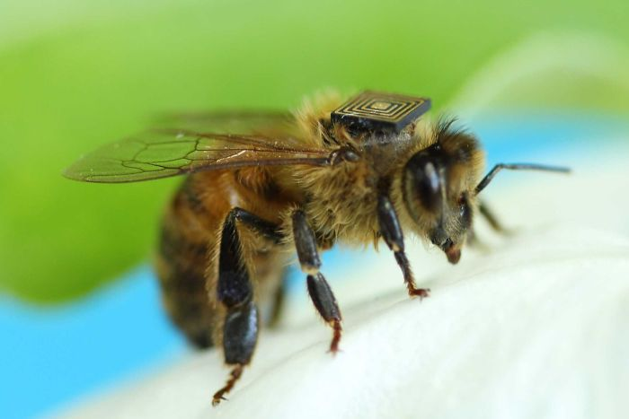 Bee with a sensor attached to it