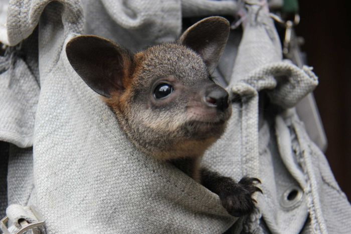 Image result for makeshift marsupial wallaby