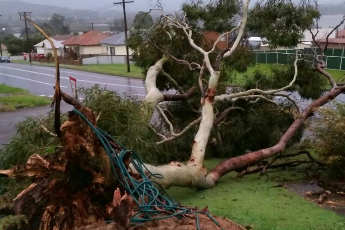 Gum tree uprooted on property at Booragul NSW