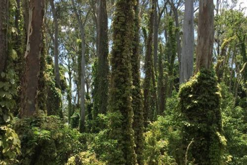 Struggling native bushland overrun by Cat's Claw at Nerang on the Gold Coast.