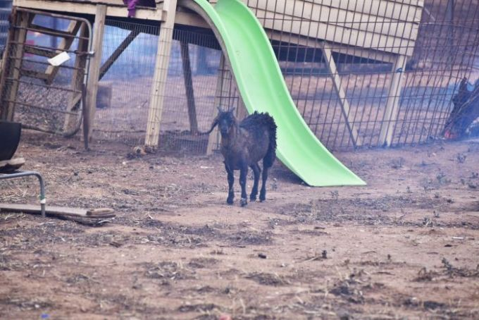 Goat in a yard after the bushfire passed through