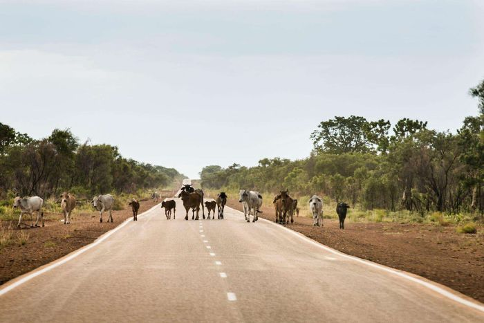 Catlle walk across the Great Northern Highway in the Kimberley.