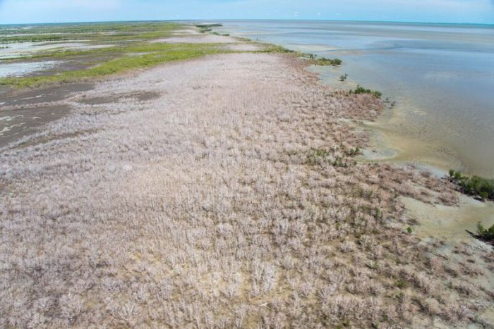 Mass die-off of mangroves off Karumba on Queensland's Gulf Country coast