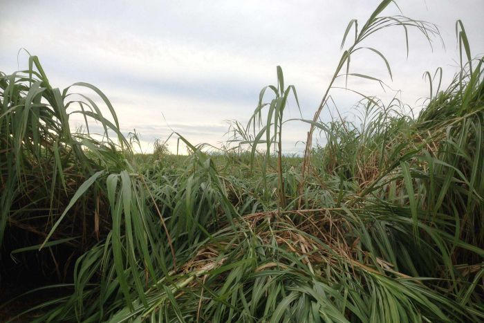 Wind and rain has flattened 30 per cent of the Bundaberg cane crop